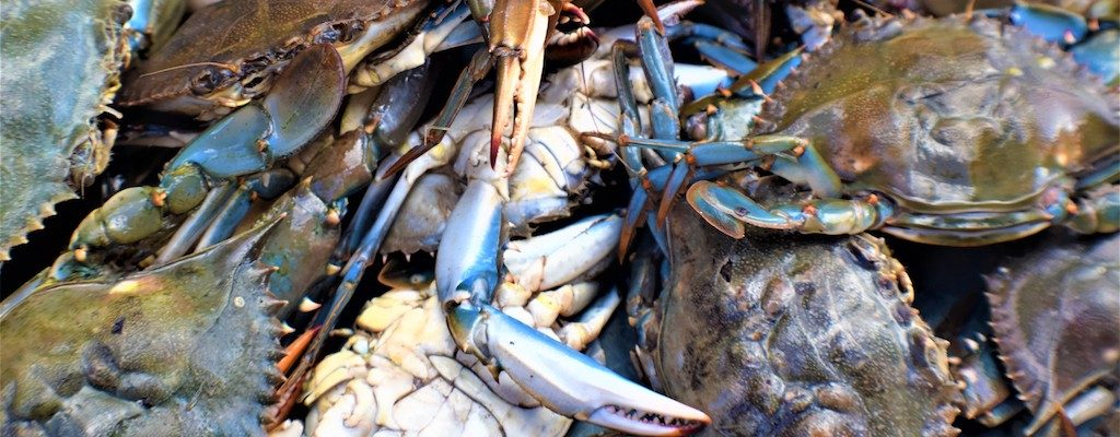 Blue crab sampled for CsRV1 prevalence.