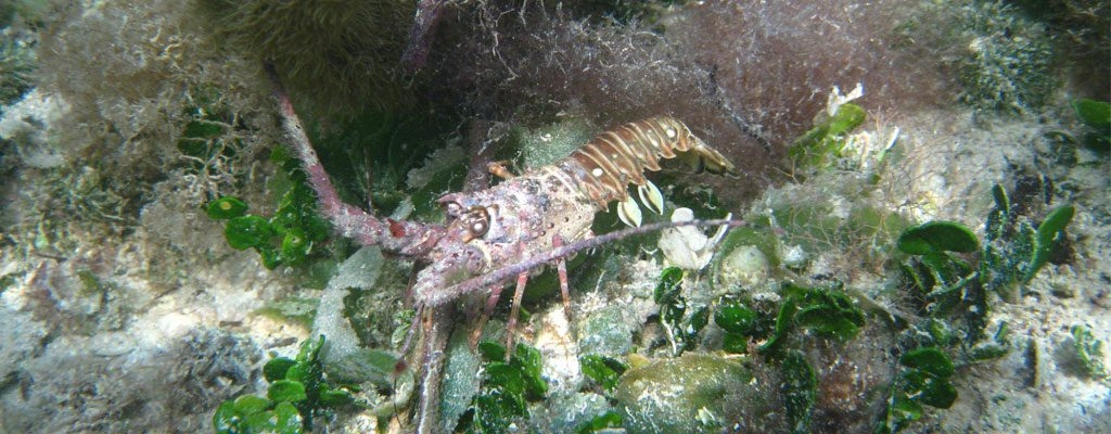A Caribbean spiny lobster Panulirus argus with visible signs of infection with PaV1: A reddish shell, apathy, and heavy fouling of the carapace.