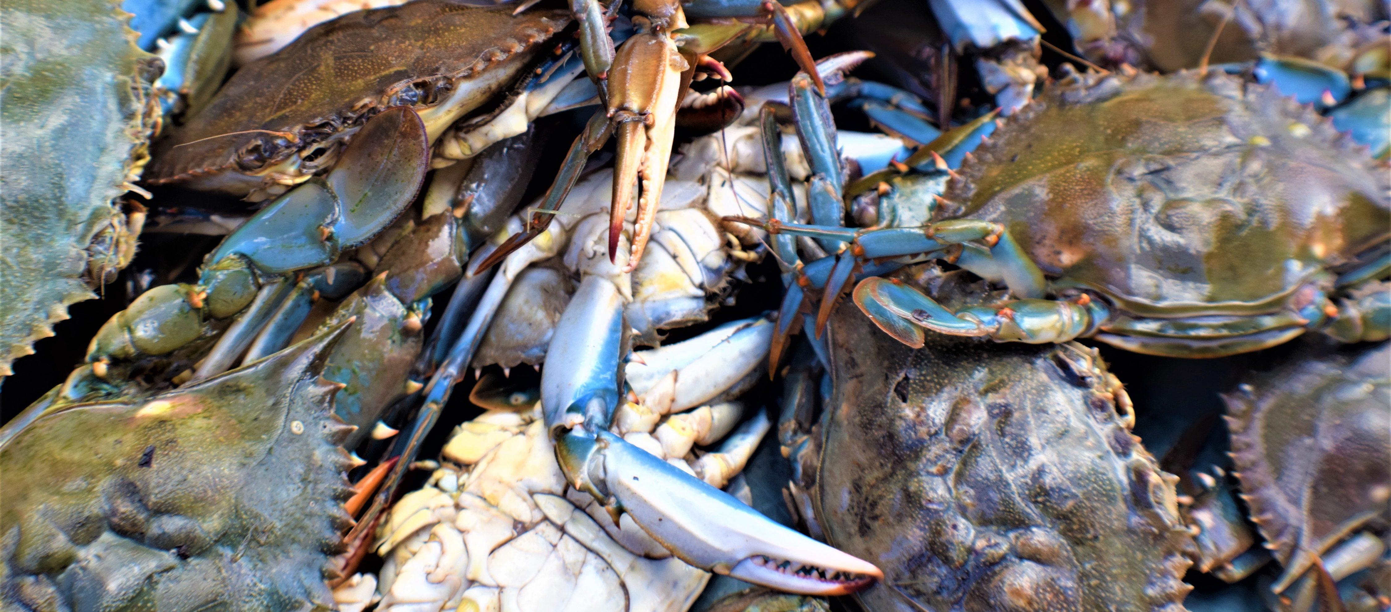 Blue crab Callinectes sapidus sampled for CsRV1 prevalence